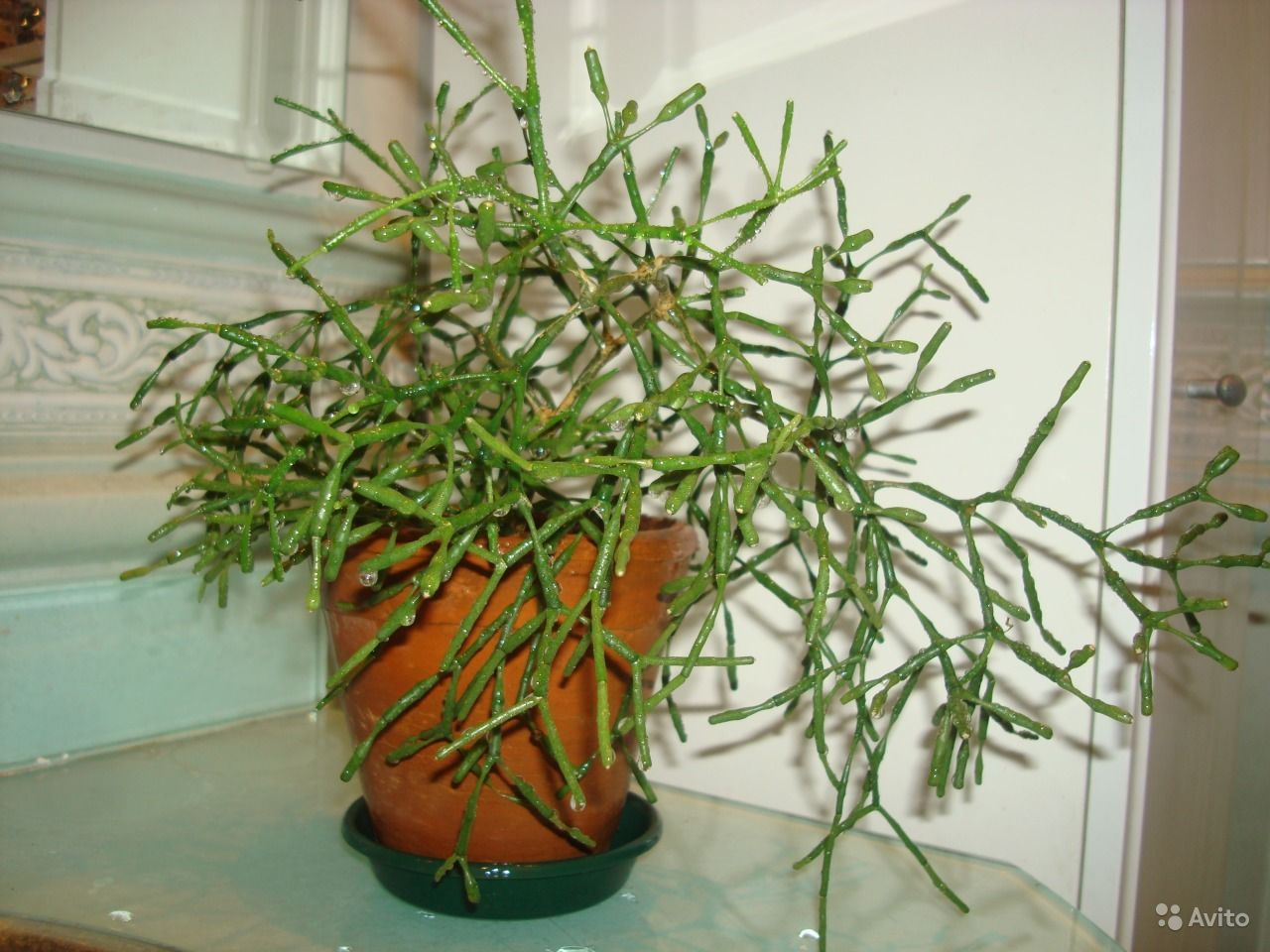 цветок рипсалис