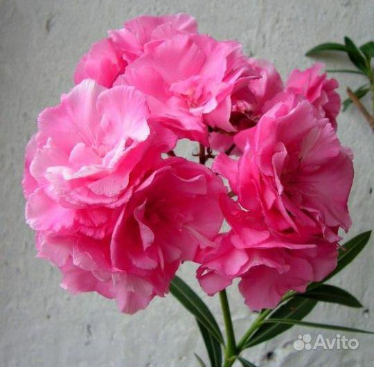 Олеандр махровый розовый купить на Зозу.ру - фотография № 1