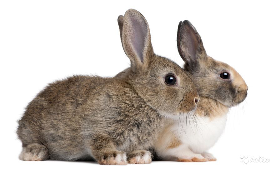 Кролики Великаны