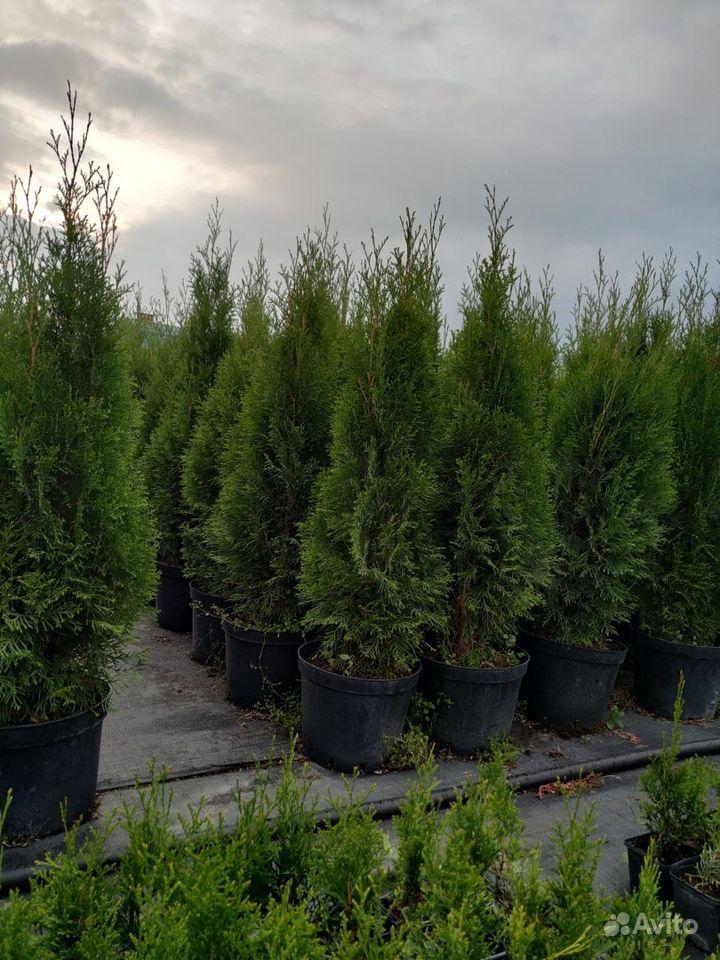 Хвойные растения,Туя (туи,ель,можжевельник) купить на Зозу.ру - фотография № 2