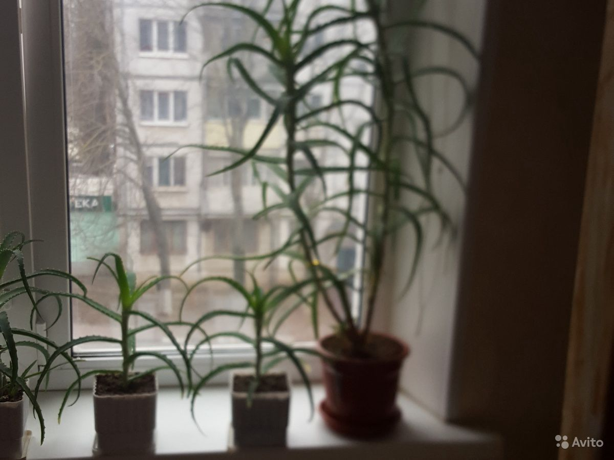 Алоэ купить на Зозу.ру - фотография № 1