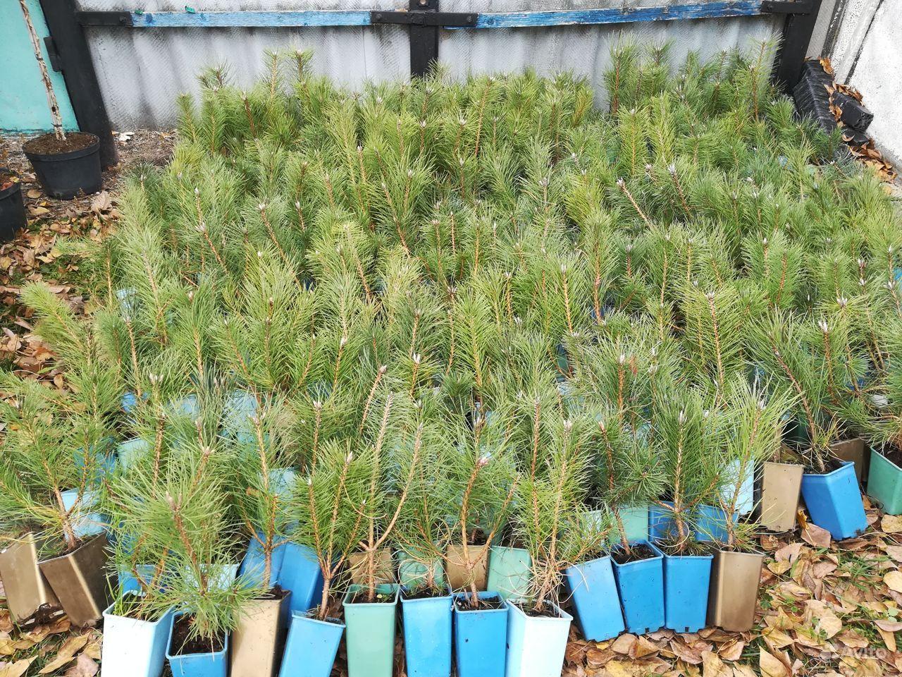 Растения в Ровеньках купить на Зозу.ру - фотография № 10