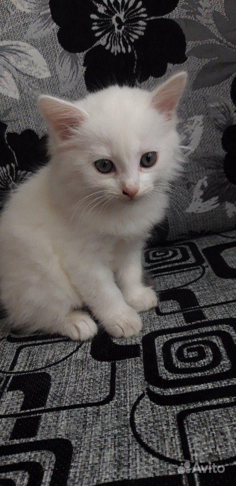 используемый для белые пушистые котята сургут фото оставляет собой