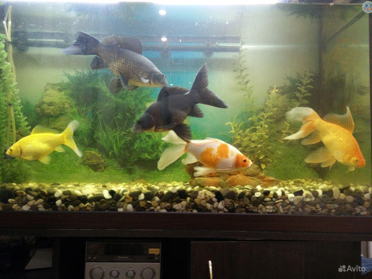 Коллекционные золотые рыбки купить на Зозу.ру - фотография № 4