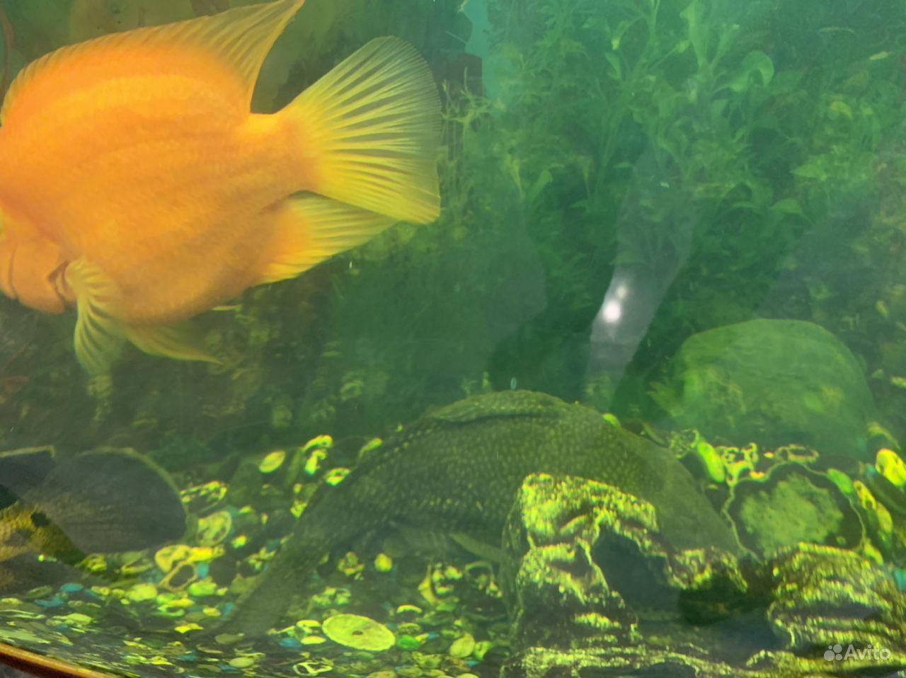 Рыба сомик купить на Зозу.ру - фотография № 2