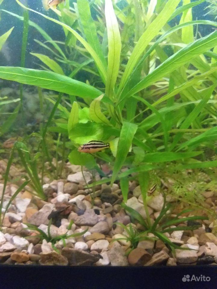 Малавийские цихлиды купить на Зозу.ру - фотография № 3