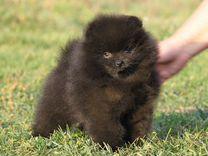 Шикарный черный щенок померанского шпица — Собаки в Москве