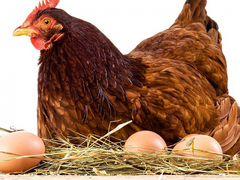 Продаю кур,гусей,фазаны,индюки