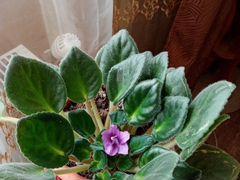 Домашний цветок Фиалка