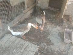 Продаём гусей Или обменяем на серых гусей