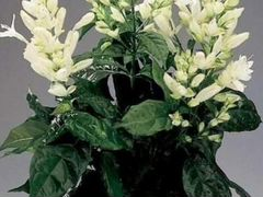 "Редкий цветок ""Уайтфельдия"", бугенвиллии"