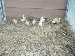 Куры и цыплята брама