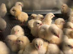Цыплята бройлеры суточные и подрощенные