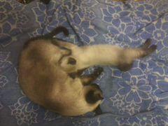 Котята тайской породы, остались мальчик и девочка
