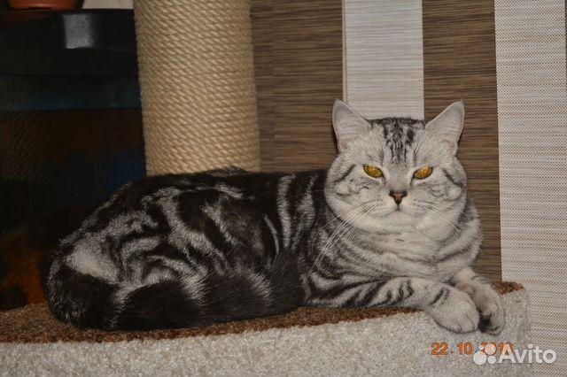 Авито кот британский для вязки