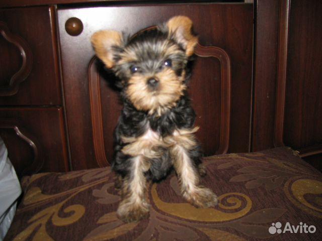 Авито купить щенка йоркширского терьера