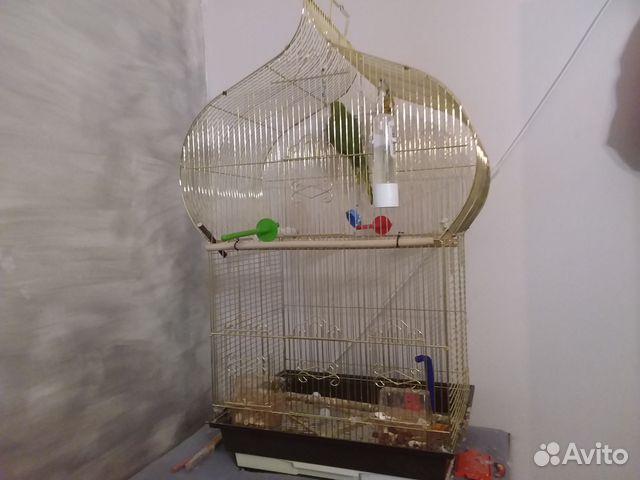 Ожереловый попугай 89044626339 купить 3