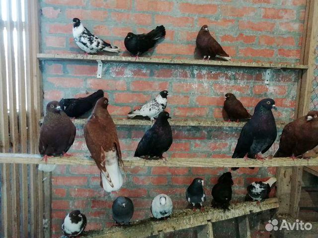 Pigeons Nikolaev