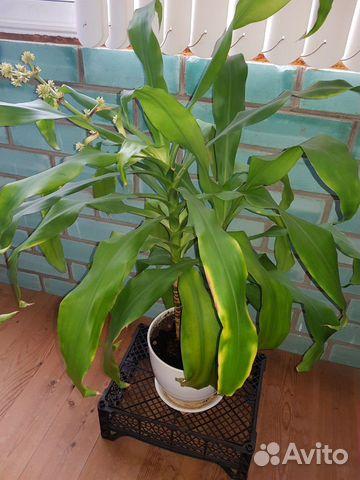 Красавец цветок юкка с керамическим горшком 89212963698 купить 1