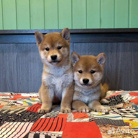 Предлагаем породистых щенков Сиба-Ину купить на Зозу.ру - фотография № 3