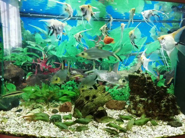 Аквариумные рыбки купить 3