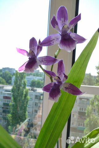 Орхидея зигопеталум (зигонизия)  купить 4