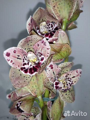 Орхидея цимбидиум не цветет  купить 1