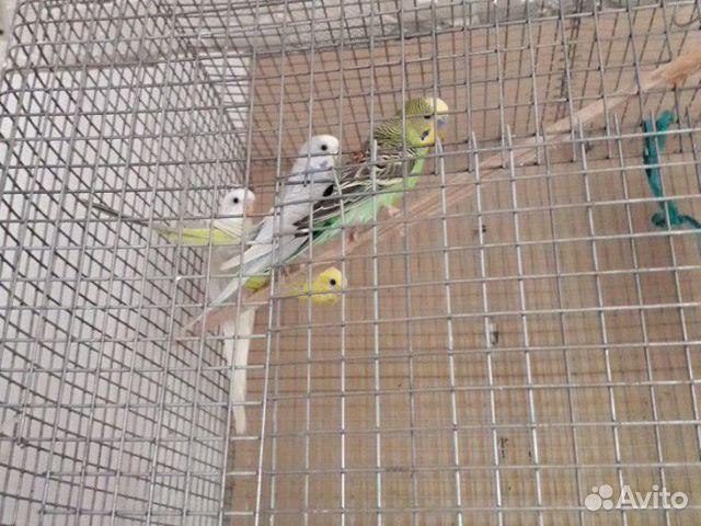 Попугай  89520938399 купить 1