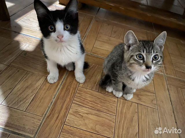 Два котенка  купить 3