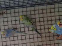 Птенцы радужных волнистых попугаев