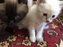 Котёнок от сиамской кошечки