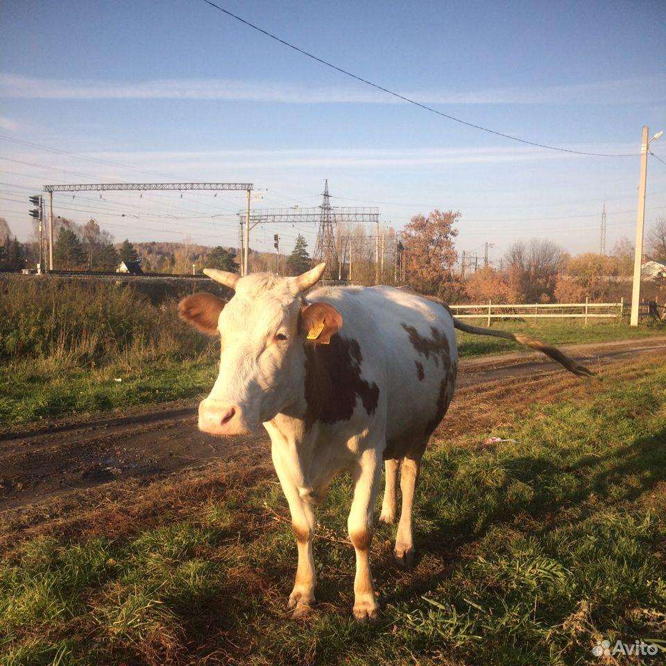 Корова  89133204774 купить 3