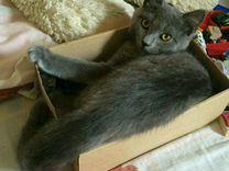 Британский прямоухие котенок