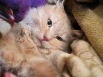 Персиковый скромник котик Виски в дар