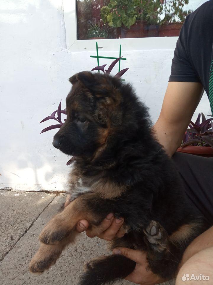 German shepherd  89787548516 buy 5