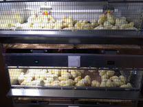 Вывод суточных цыплят на июнь месяц