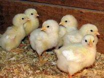 Цыплята,Адлеровская Серебристая и Кучинские Юбилей