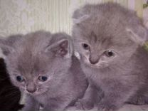 Котятки бриташки