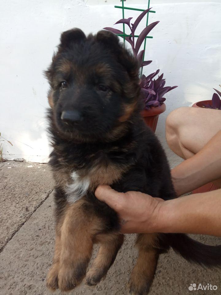 German shepherd  89787548516 buy 2