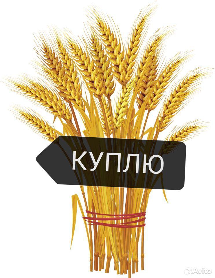 Пшеница зерно  89034429666 купить 1