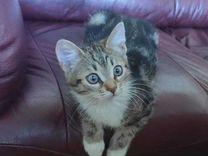 Котенок 3 месяца с окрасом бенгальца