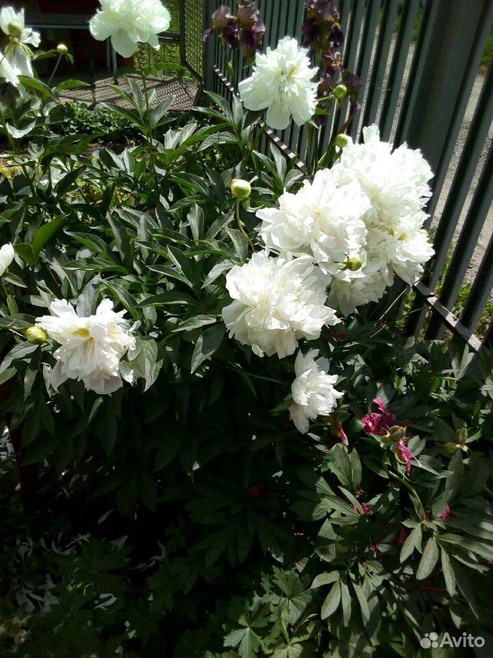 Растения садовые  89875767809 купить 6