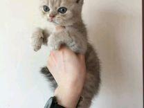 Лилово золотое чудо котик
