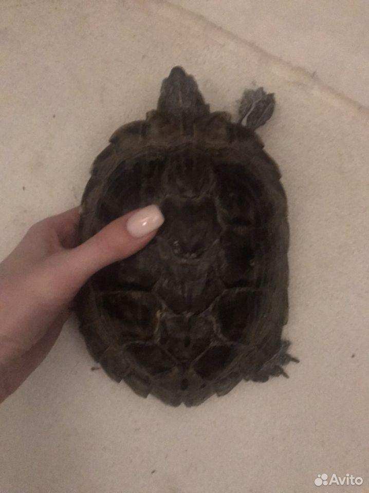 Отдам Бесплатно 2х черепах  89621581783 купить 4