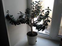 Денежное дерево (толстянка) большое две штуки