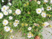 Продажа многолетних цветов