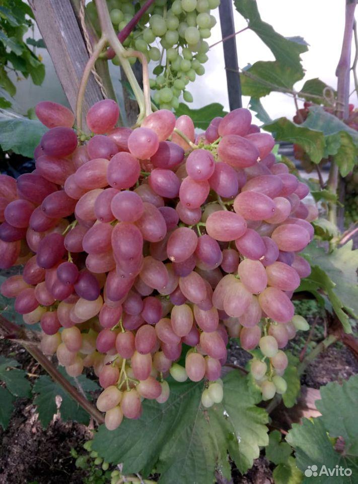 Виноград - саженцы ранних столовых сортов  89086315673 купить 2