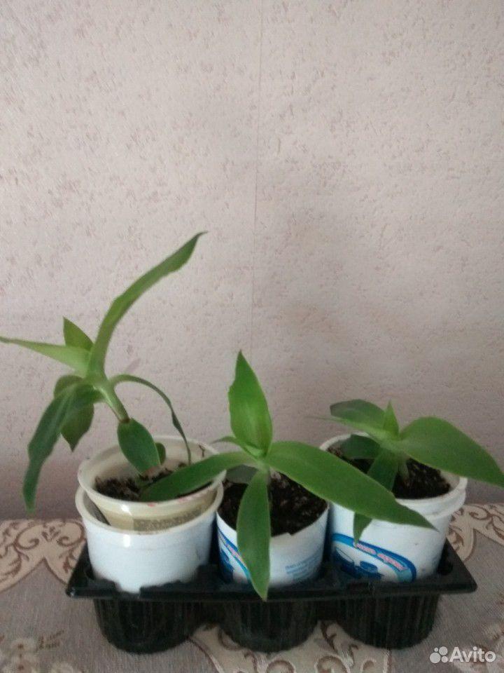 Золотой ус (Callisia fragrans)  89537473111 купить 2